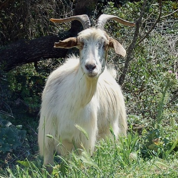 Goat grazing (photo Provincia Medio Campidano)